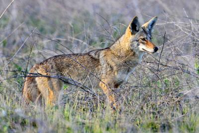 Coyote trapping in full swing in Lavaca County