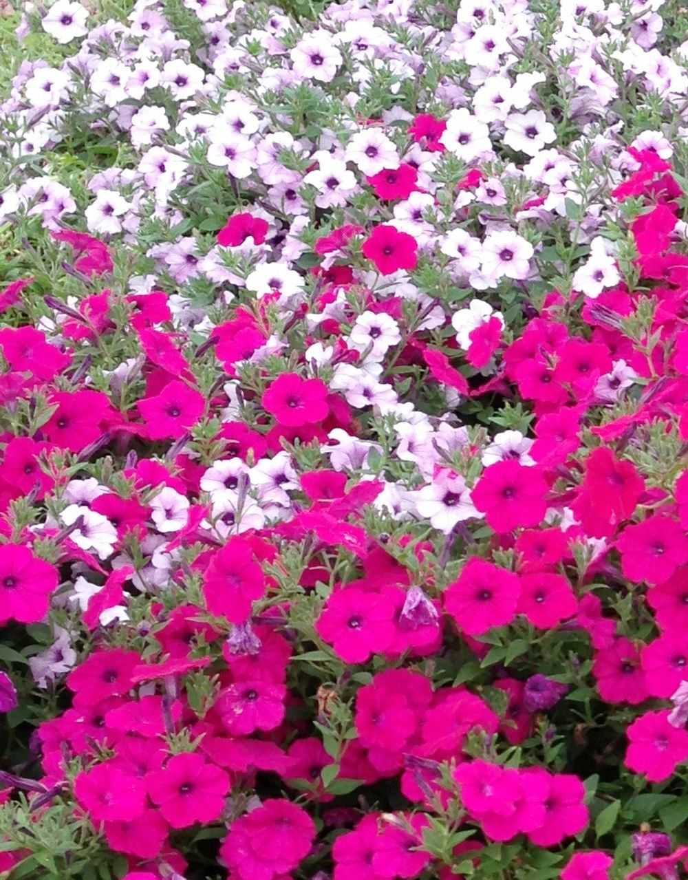 No Petunias Were Harmed In >> Wave Petunias Add Flower Power To The Garden Home And Garden