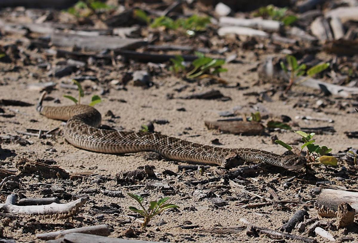 Are There Rattleless Rattlesnakes Local News Victoriaadvocate Com,Types Of Cacti With Pictures
