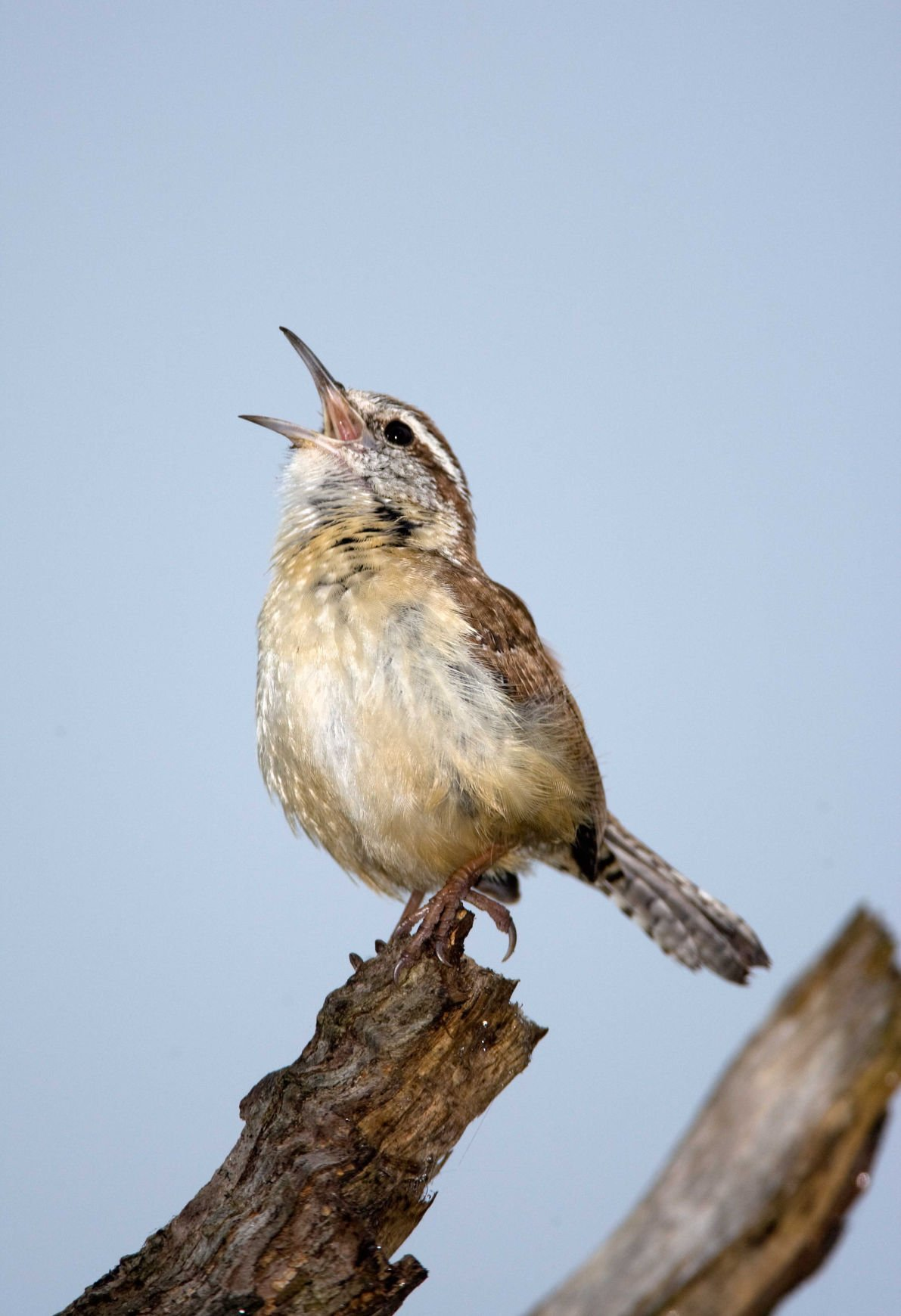 Nature Notes A Clever Little Brown Bird Home And Garden Victoriaadvocate Com