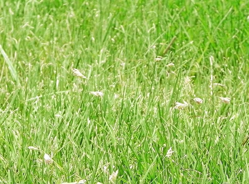 Master Naturalists Buffalo Grass Easy To Maintain Home And Garden Victoriaadvocate Com