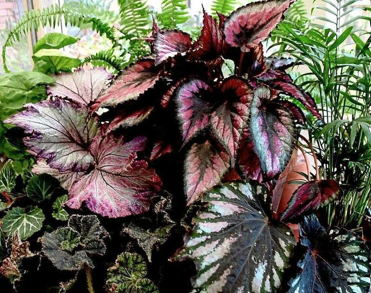 Gardeners Dirt Wrinkled Variegated Leaves Distinguish Rex