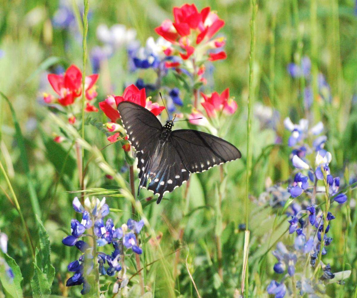 Wildflowers 2021: Butterfly