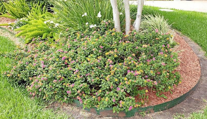 Gardeners Dirt Lantana Tough Like Nettles Dainty In Blooms