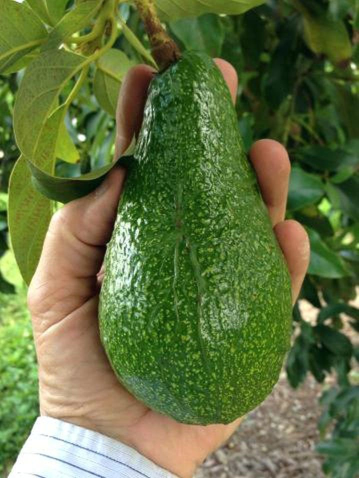 Citrus and Avocado Tree Sale   Calendar   victoriaadvocate com