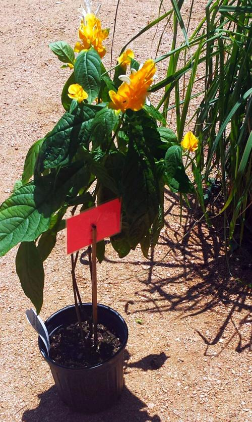 Lemon Lollipop Plant At Local Nursery