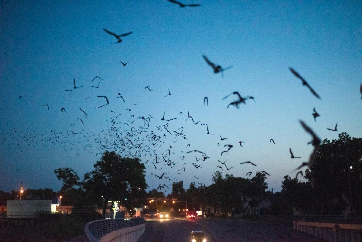 Bats fly in Victoria skies