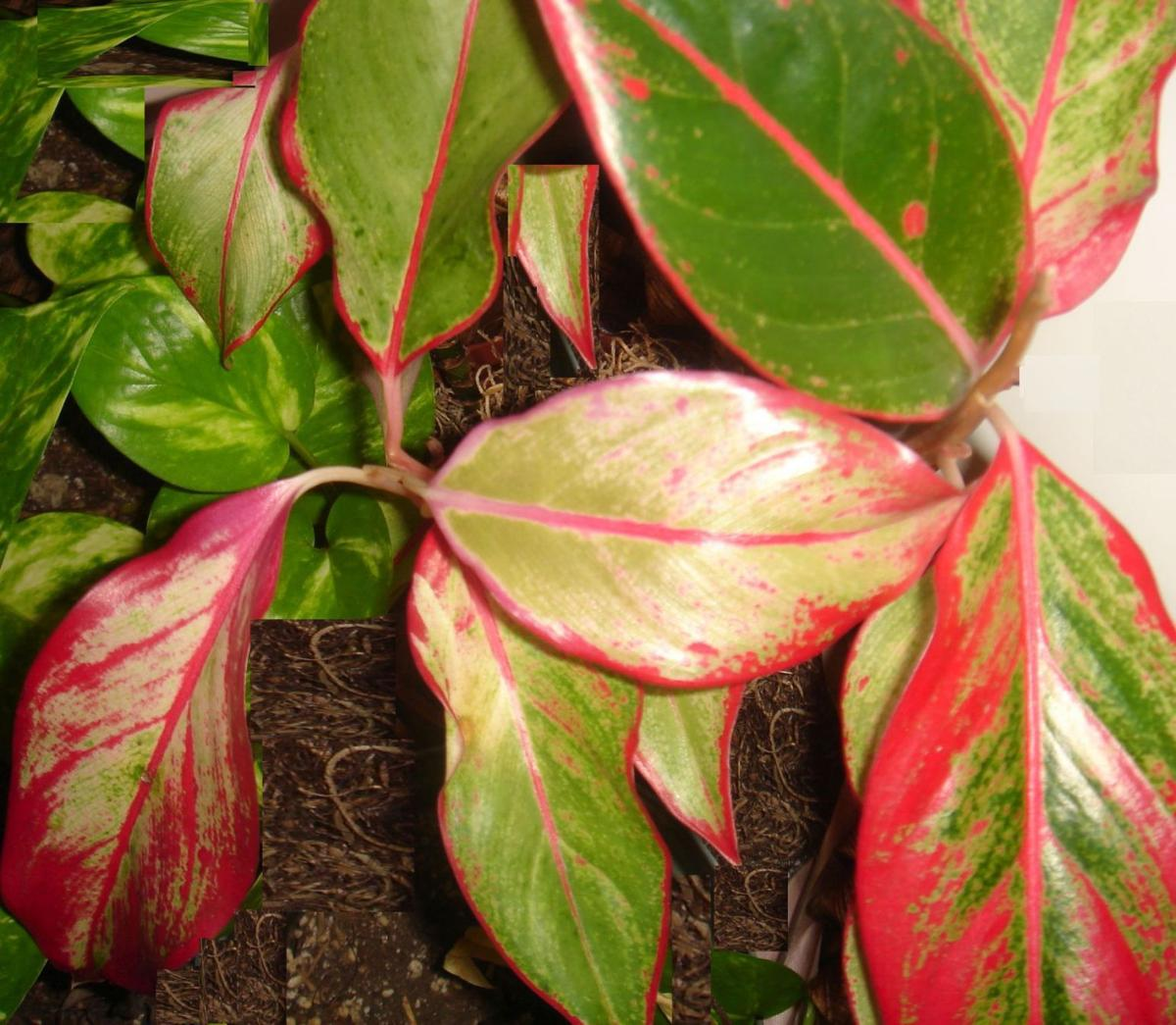 Chinese Evergreens Add Holiday Color Home And Garden Victoriaadvocate Com