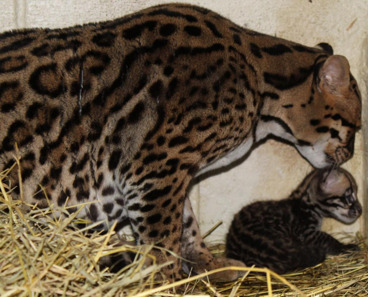The Texas Zoo welcomes a new baby ocelot