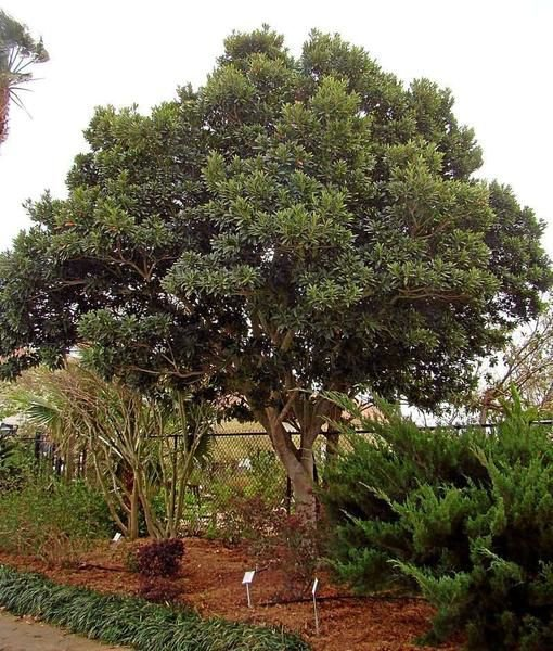 gardeners' dirt: japanese blueberry tree good choice for area | home