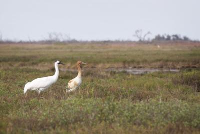 Whooping cranes at Blackjack Peninsula