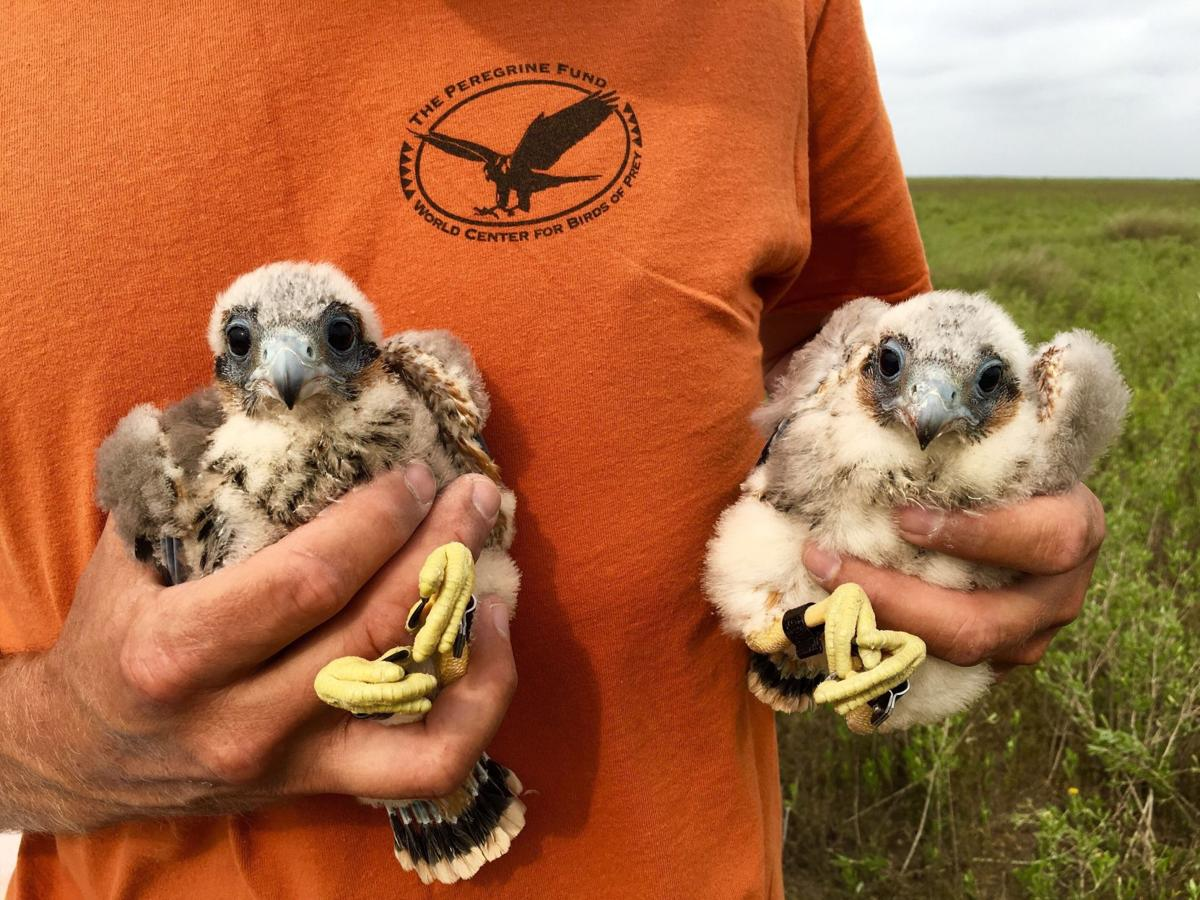 Biologists band endangered falcons