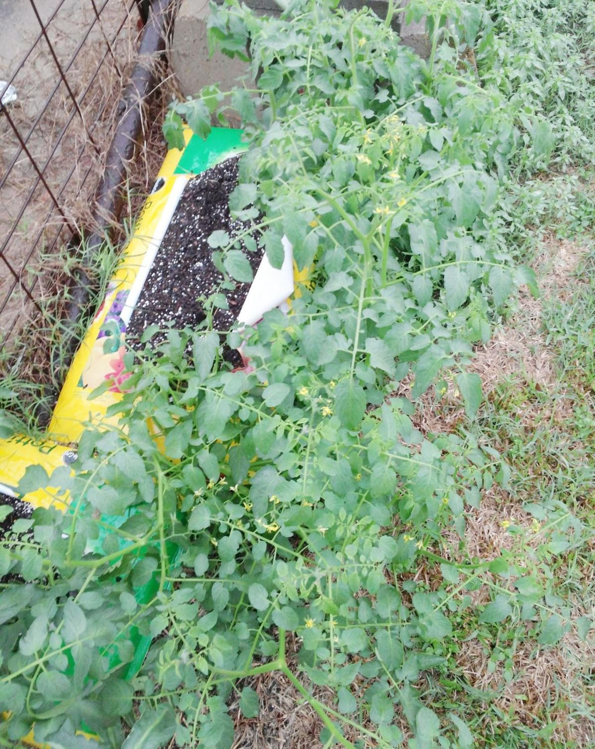 Fall Vegetable Gardening Tips Home And Garden Victoriaadvocate Com