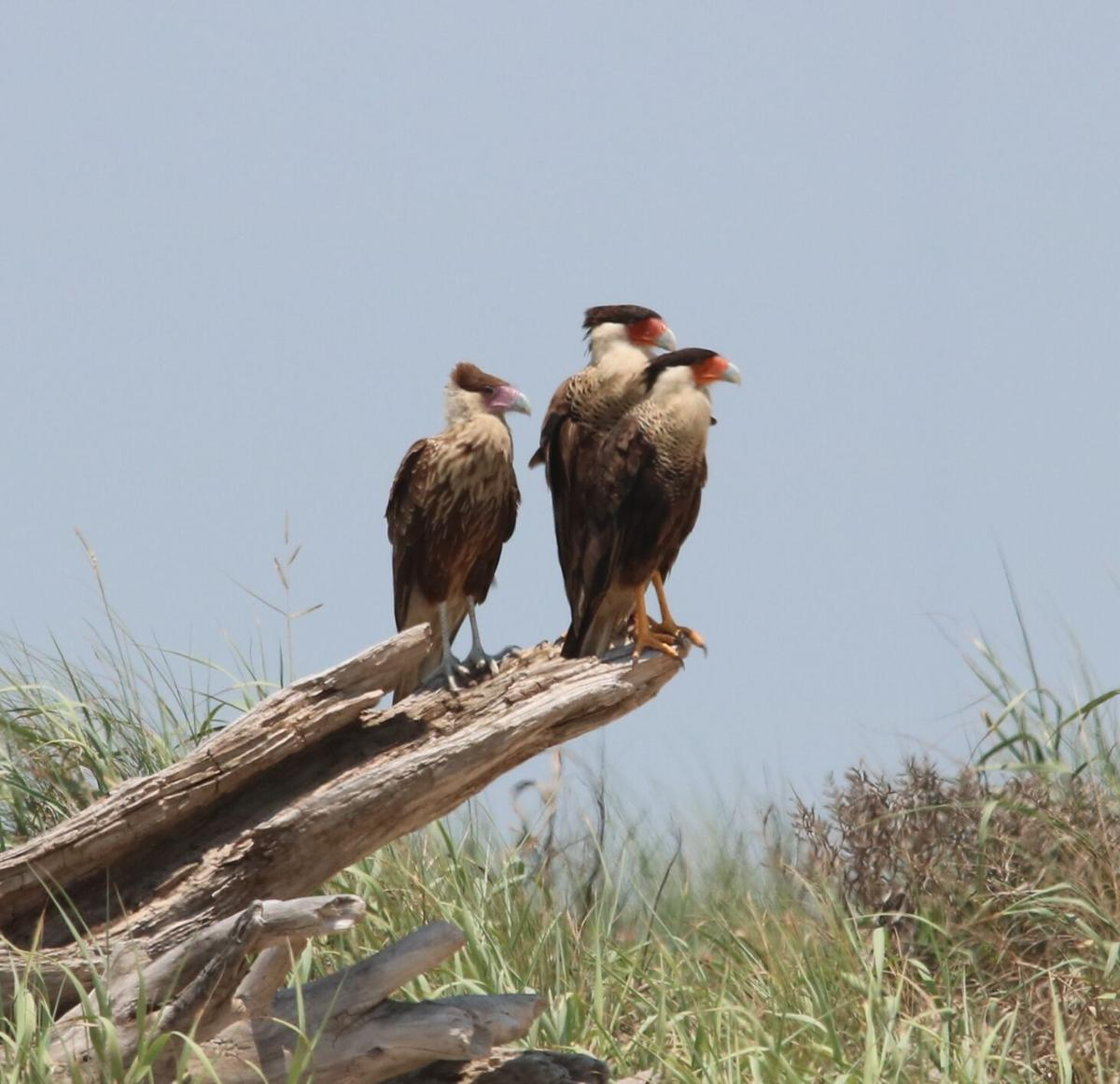 Crested caracara family