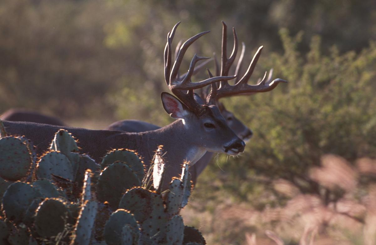 North, East and South Texas Deer Forecast