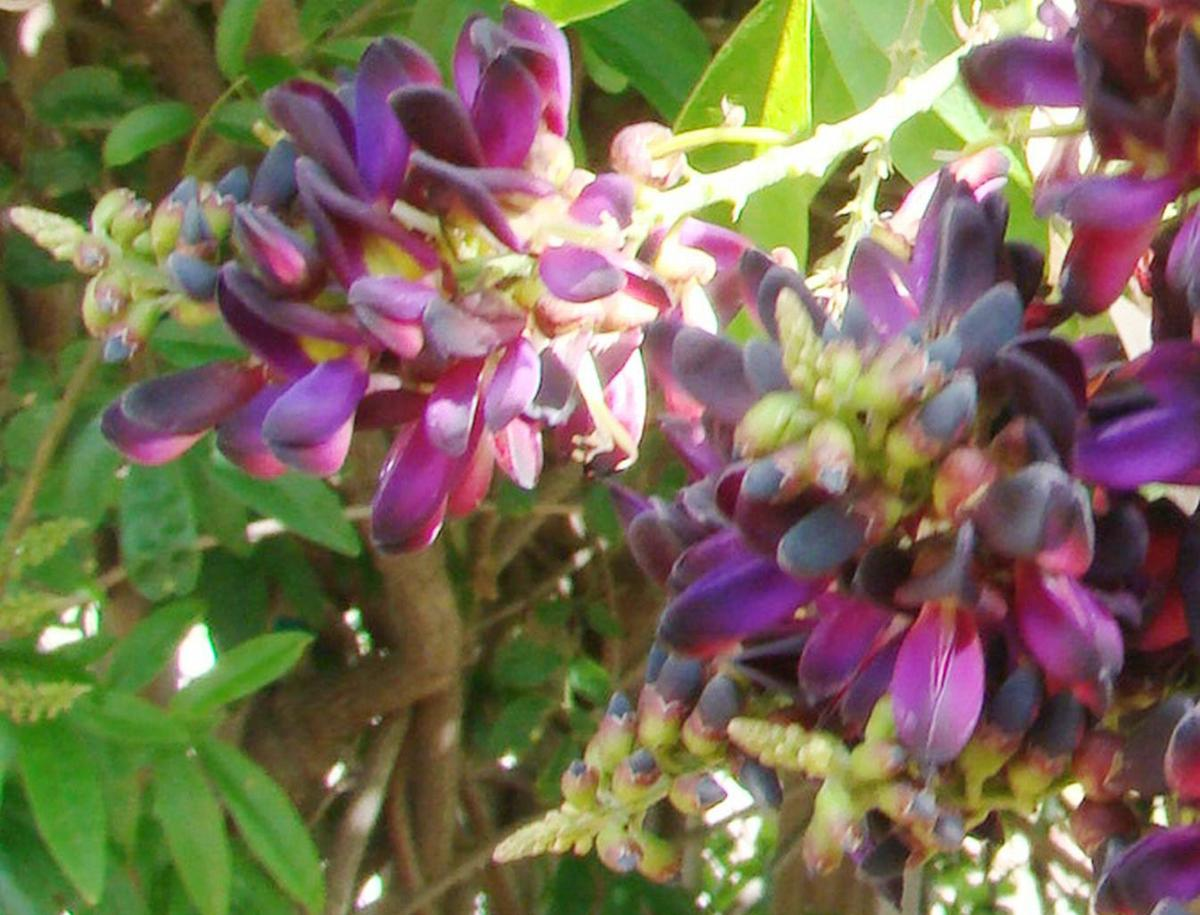 Evergreen Wisteria A Noninvasive Vine With Fragrant Deep Purple
