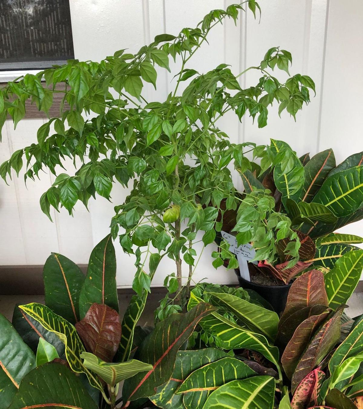 House Plant Or Tree China Doll Plant Can Be Both Home And Garden Victoriaadvocate Com