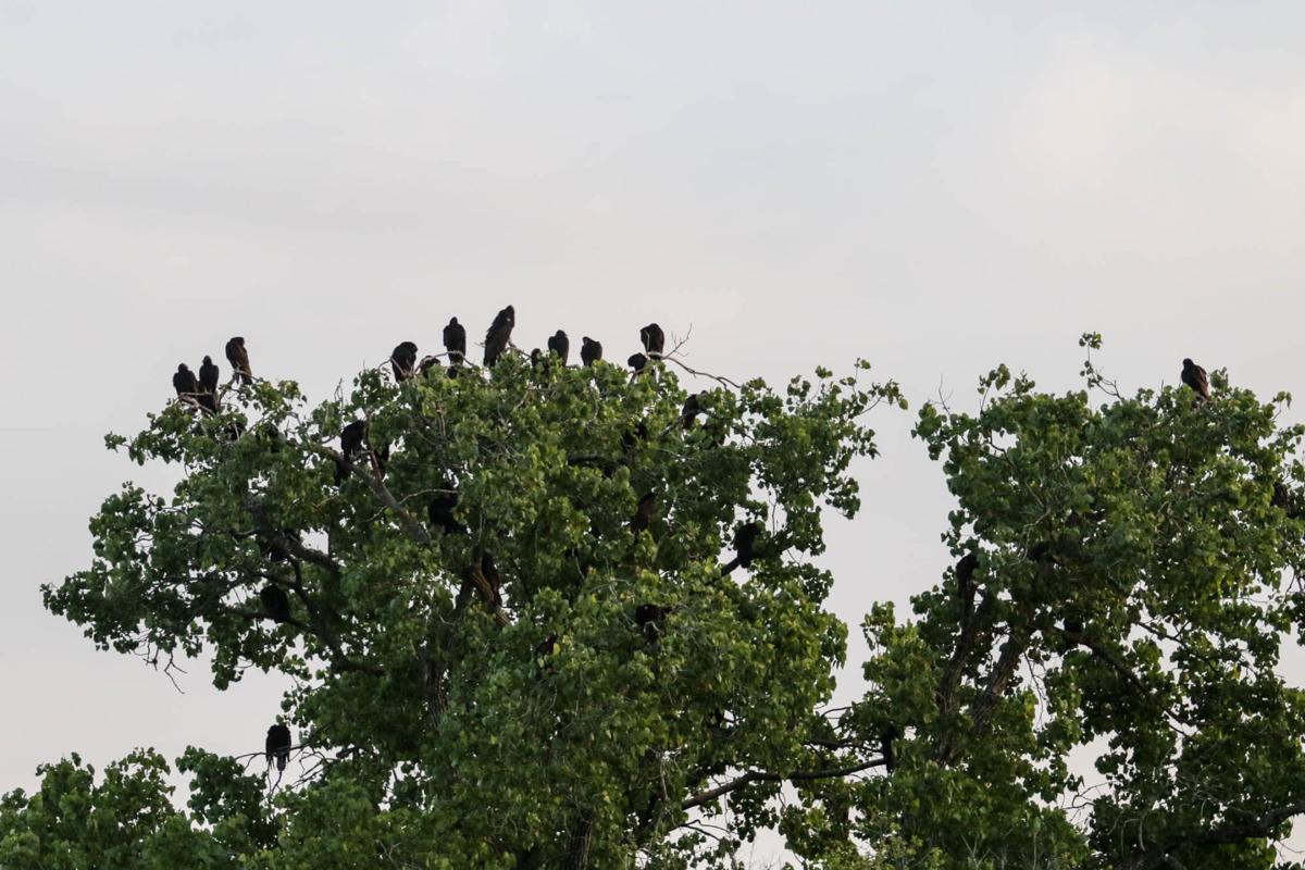 Hallettsville Vultures