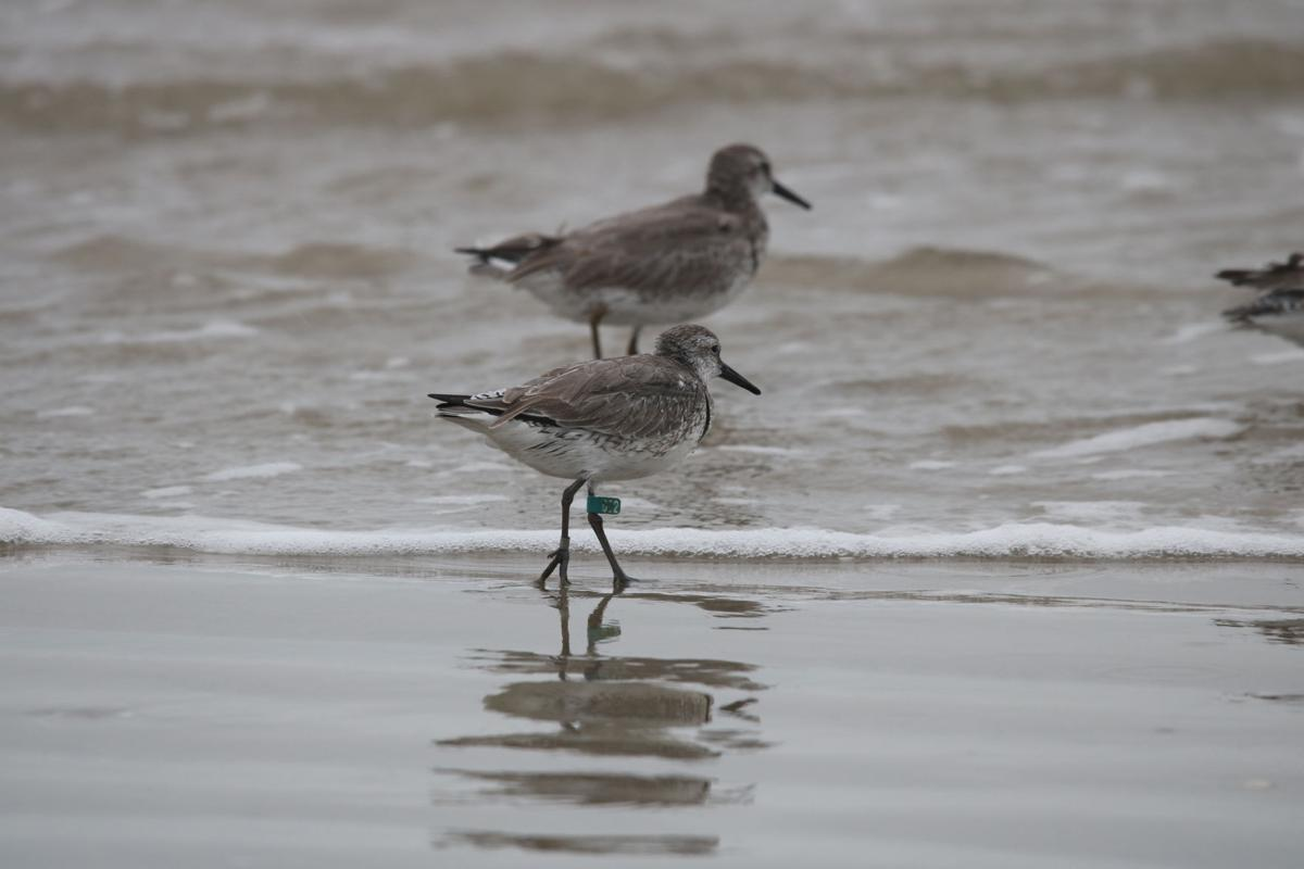 The mighty red knot