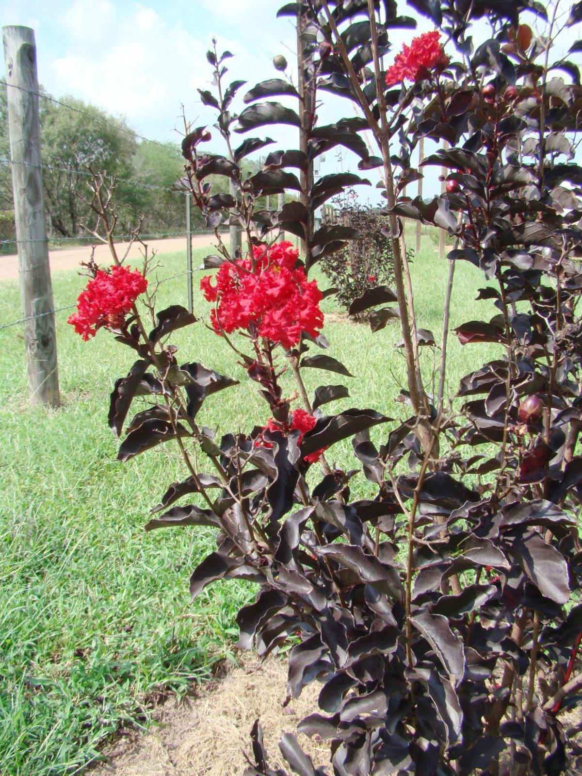 Black diamond crape myrtle comes in five colors | Home And ...
