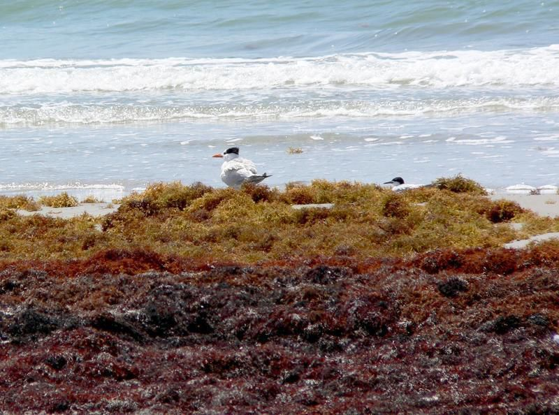 Master Naturalists: Oil spill damages invertebrate animals on Matagorda Island