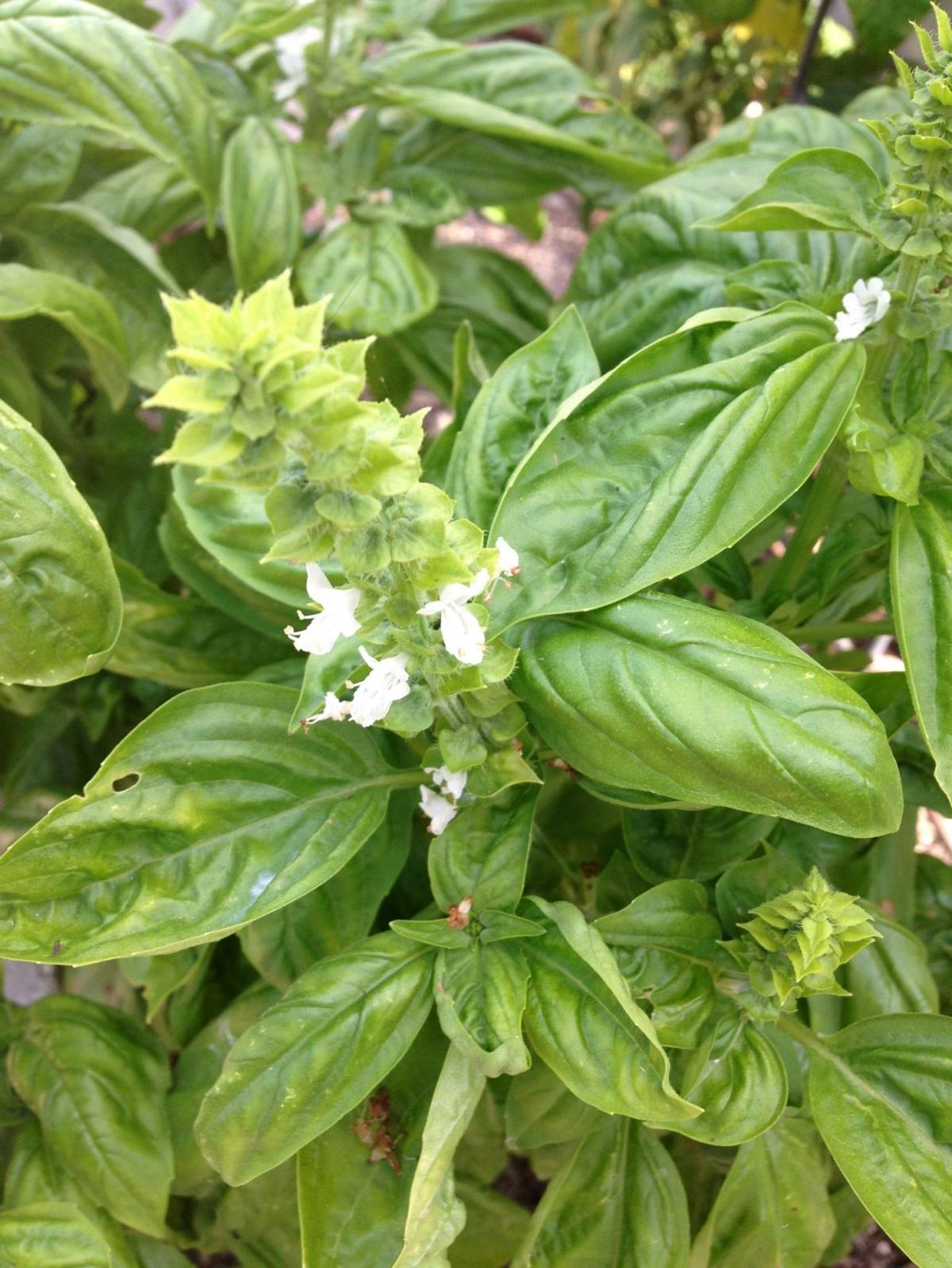 Natural Plant Fragrances Can Ward Off Mosquitoes Home And Garden