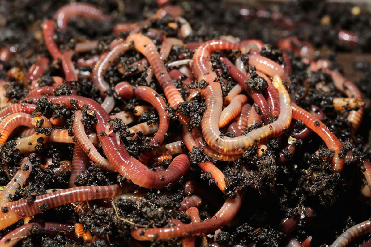 In vermicomposting, worms do the work of composting | Home And Garden |  victoriaadvocate.com