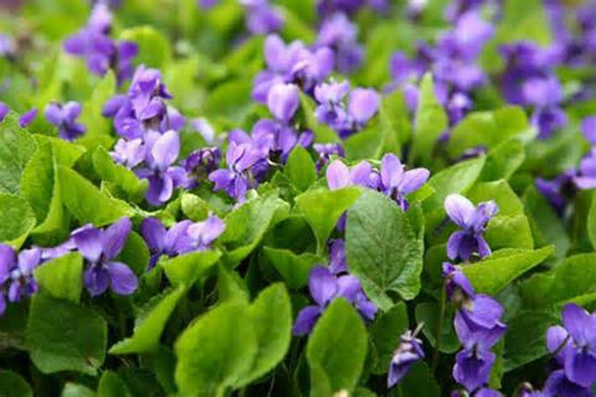 WILD  VIOLETS//white  VIOLETS SET OF 12 PLANTS PERENNIAL