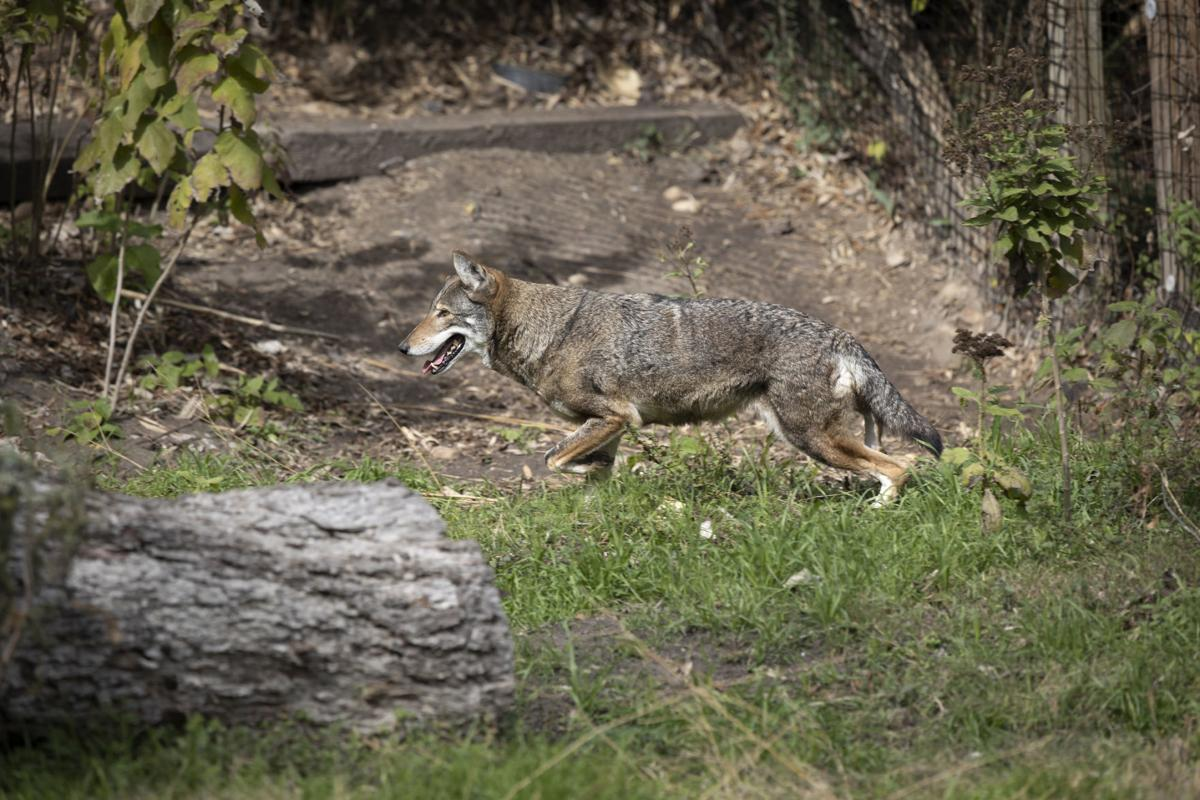 Red wolf conservation program at the Texas Zoo