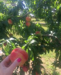 Fruit Trees More Will Be Available At Upcoming Victoria County Master Gardeners Fall Plant