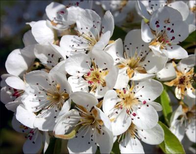 Pear tree  blooms