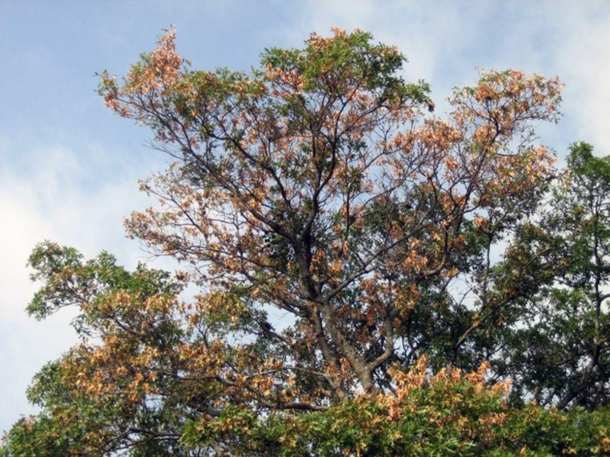 Oak Wilt Is Infectious Disease Home And Garden