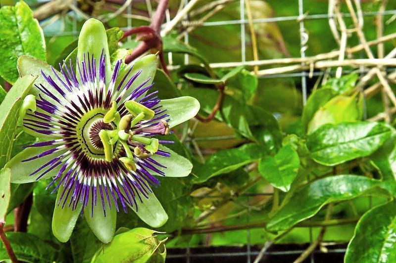 Gardeners' Dirt: Soften a fence or lattice with passion vine