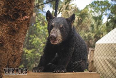 5-month-old Florida black bear cub recovers at Brevard Zoo