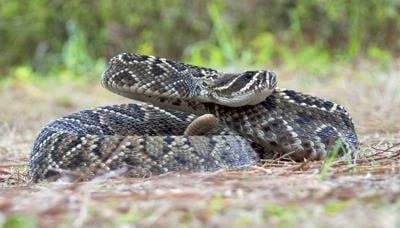 Feared rattlesnake serves useful purpose in Florida