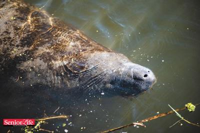 Manatee deaths need a state of emergency declaration