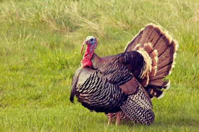 Spinning tales about turkeys