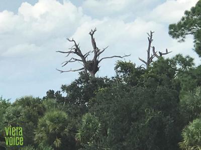 Despite area development, eagles' nest in Viera perseveres