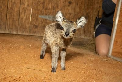 27.5-ounce antelope born at Brevard Zoo