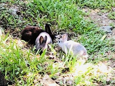 VINP seeking residents' help with domestic rabbits at L'Esperance Trail