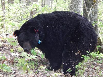 Hunters Asked Not to Shoot Ear-Tagged and Radio-Collared Research Bears