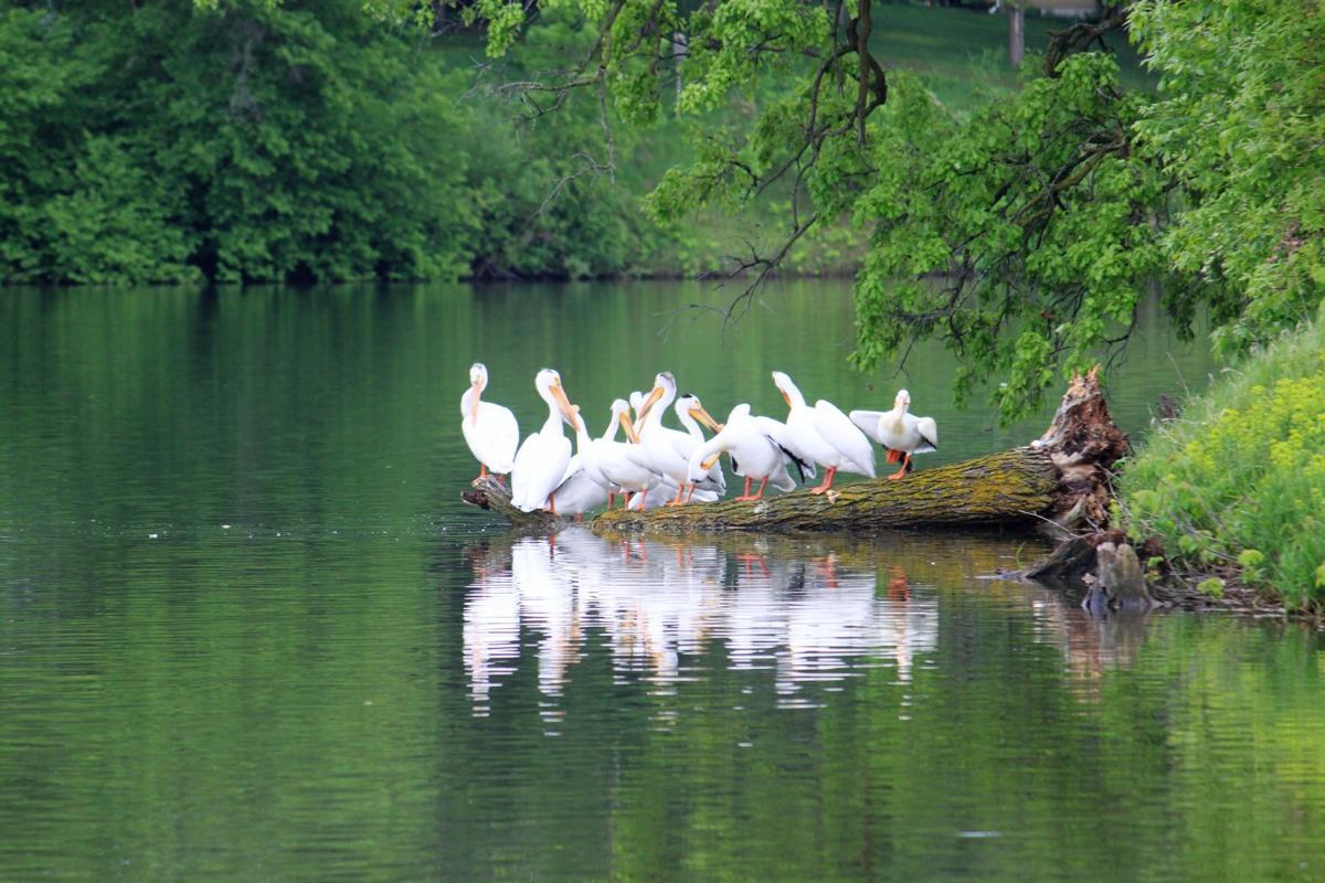 Pelicans on Lake Winona
