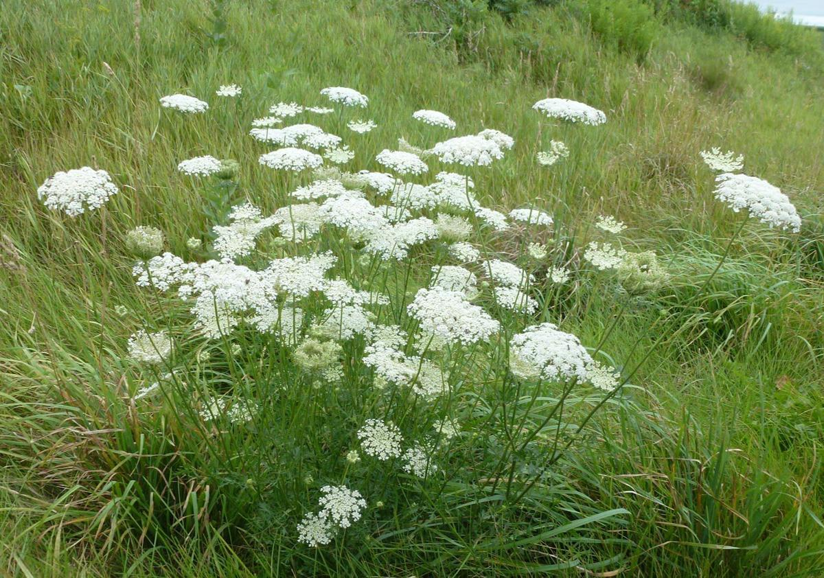 Wild carrot queen annes lace july weed of the month home and wild carrot plants grow 1 4 feet tall and have lacy white flowers mightylinksfo