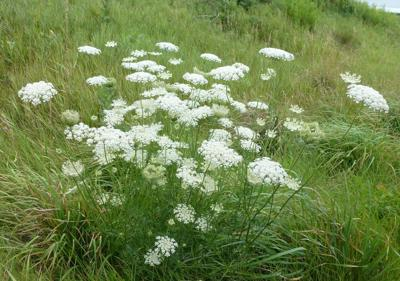 Wild Carrot Queen Anne S Lace July Weed Of The Month Home And