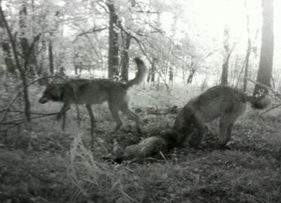 Wolves in Otter Tail County