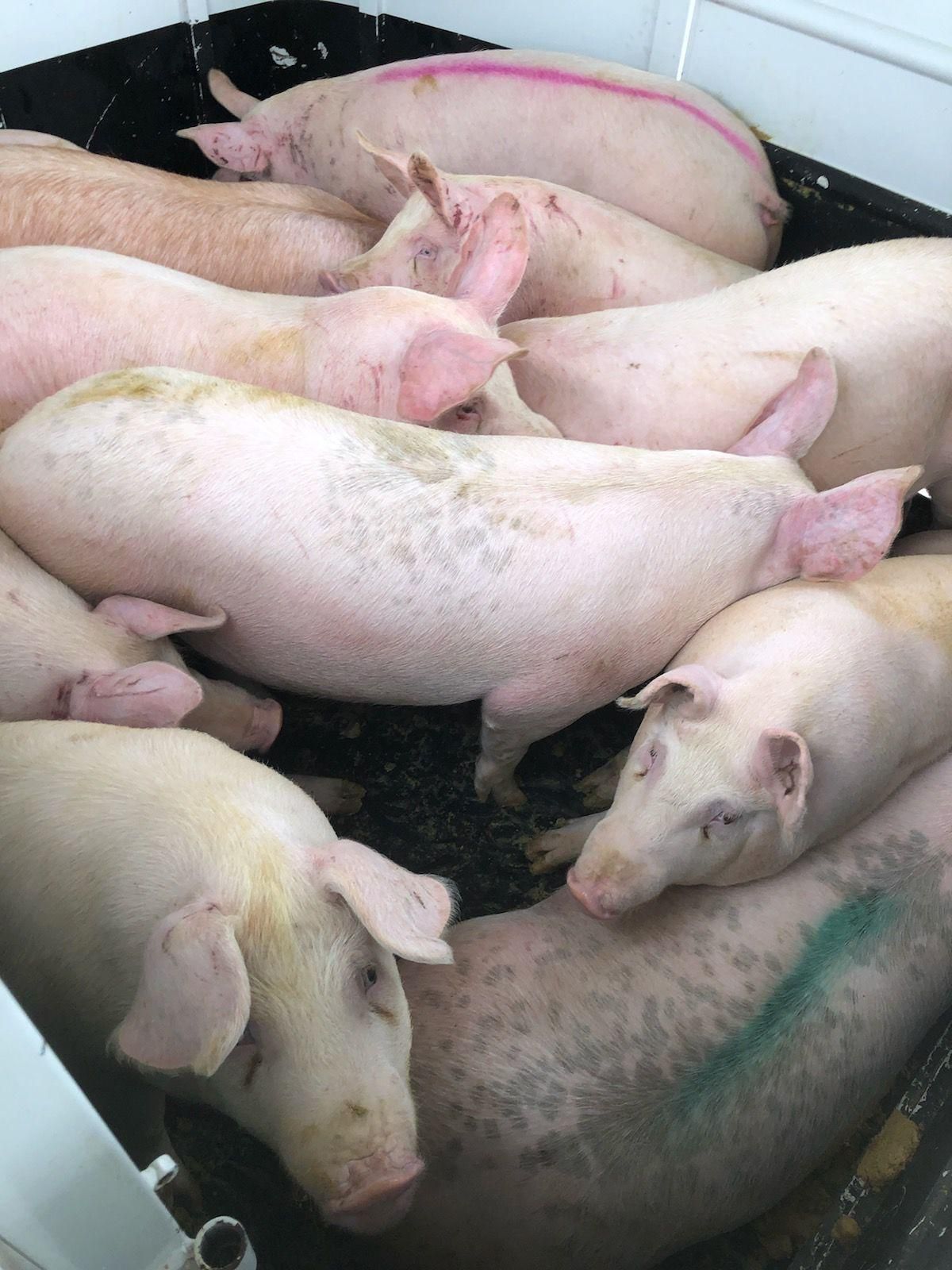 Pigs From the Rohloff Farm