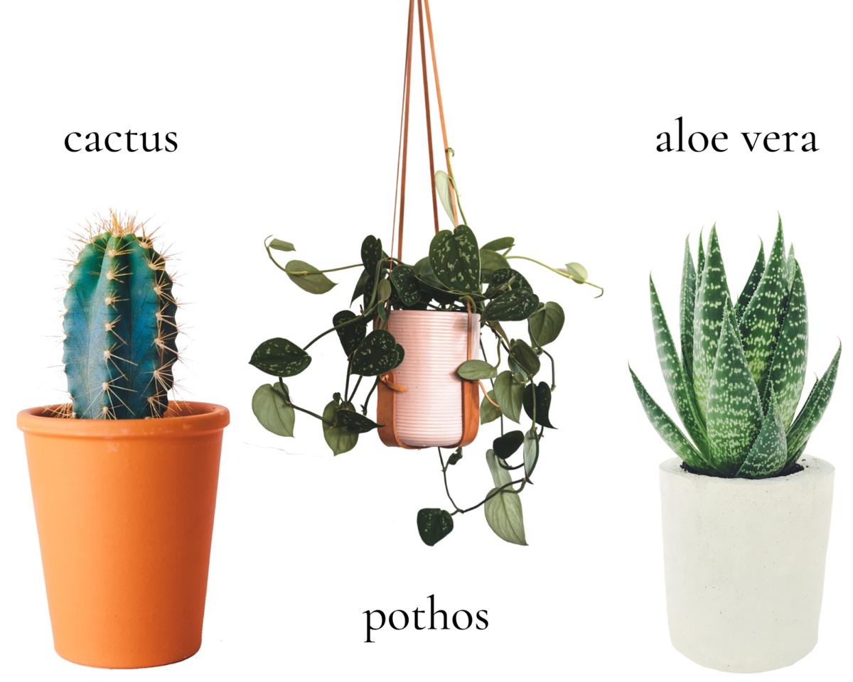 cactus, pothos, aloe