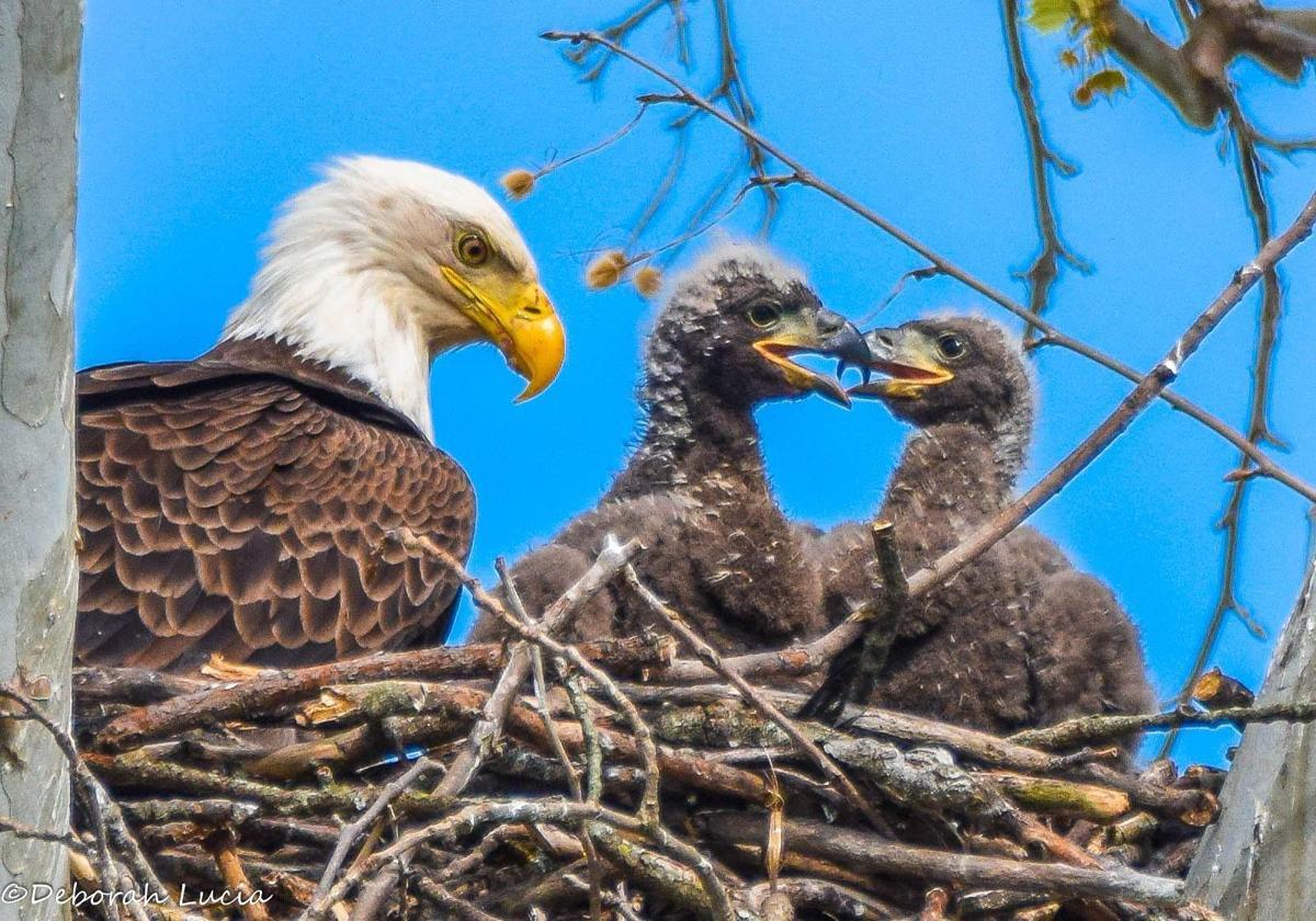 Bald eagles in nest