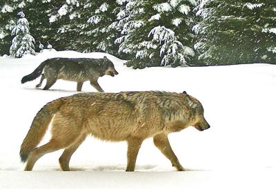 Ranchers oppose cuts to wolf compensation, predator control