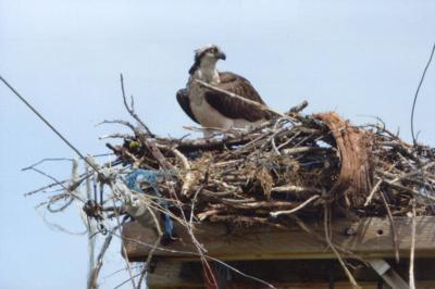 Osprey a fish-eating hawk
